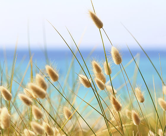 An image of soft golden fluffy bunny grass with the ocean in soft blues in the background